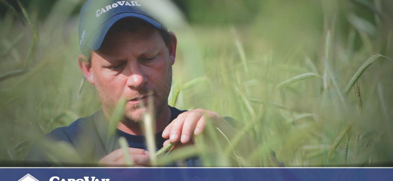 CaroVail employee checking rye grass